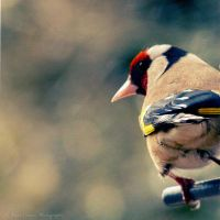 Goldfinch by FreyaPhotos