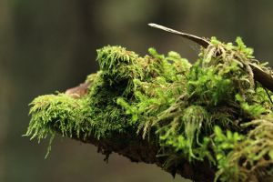 Moss on branch by attomanen