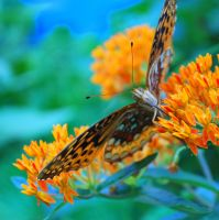 Fritillary Butterfly - Organic Native Garden by rebeccamichellelee