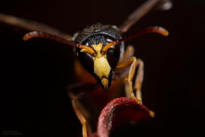 Australian Potter Wasp by RDography