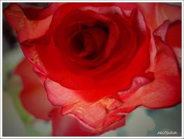 Red rose.. .. .. .. .. by gintautegitte69