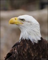 Eagle Portrait Studio 7 by SilkenWinds