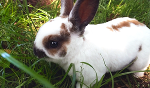 Mini Rex Bunnies for Sale by Piucca