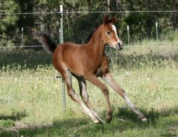 Arabian Foal 006 by Notorious-Stock