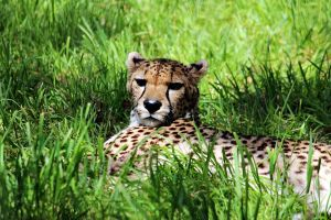 cheeta by Abbiee1211