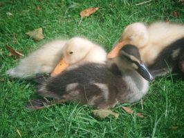 Ducklings by Photo-Manix
