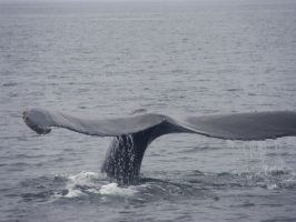 Whale Tail by MysticKnight38