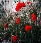 Corn poppy by ggZZmm