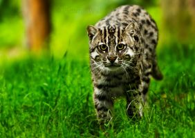 The Fishing Cat II by PictureByPali