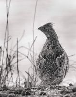 Ruffed Grouse by Les-Piccolo