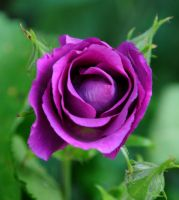 June Rose 3 by Forestina-Fotos