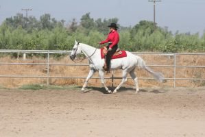 Gray White Quarter Horse Western Pleasure by HorseStockPhotos