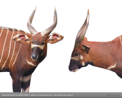 PNG STOCK: Bongo antilope head by MAKY-OREL