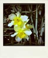 those daffodils by x--photographygirl
