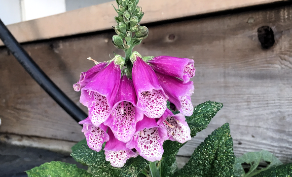Purple Foxgloves by MangleOrchid