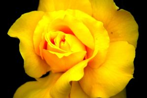 Yellow Rose of Texas by wordpainter81
