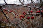 Berries Among Thorns by Matt2tB-Portfolio