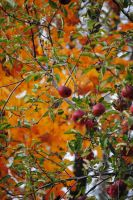 fall apples by MilA-10