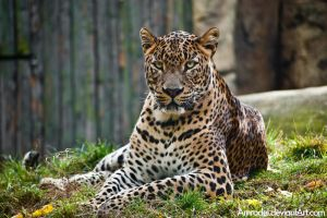 Leopard's Poker Face by amrodel