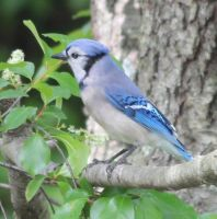 Bluejay by Laur720