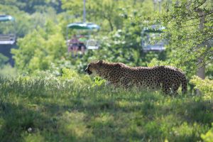 Cheetah passing by by durmonkee