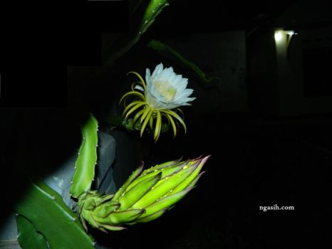 Dragon Fruit Flower In The Night by ngasih