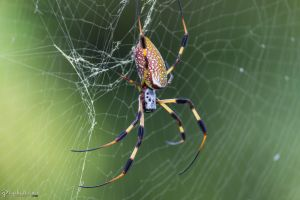 Golden silk orb-weaver 2 by LordMajestros