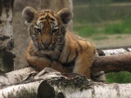 Siberian Tiger 06 by animalphotos
