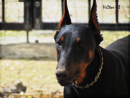 Beauty of Doberman by Ladywolf1997