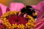 Buff-tailed Bumblebee- Bombus by sschukina