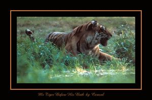 Mr Tiger Before His Bath by caracal