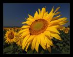 sun flowers II by BorisMrdja