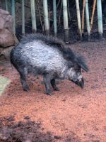 Warty Pig stock by thiselectricheart