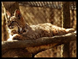 Meet Bob The Bobcat by Latrodectus-Pallidus