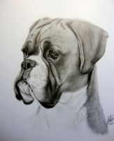 My Boxer by Dhekalia