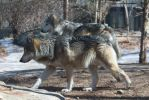 Mexican Wolf Stock 36 by HOTNStock