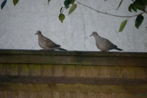 DSC 0064 Collared Doves 4 by wintersmagicstock