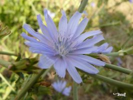 small blue flower by andi40
