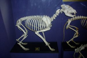 Hyena skeleton by LeftWingDuck