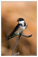 White Throated Swallow by MrStickman
