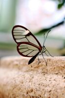 Glasswing Butterfly by ParadoxGirl411