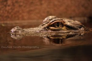 Baby Alligator by CandiceSmithPhoto