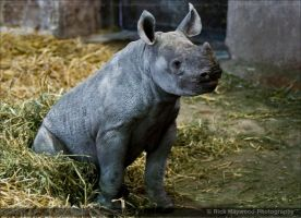 Baby Black Rhino 1159j by Haywood-Photography