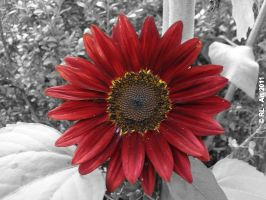 Red sunflower by reiner67