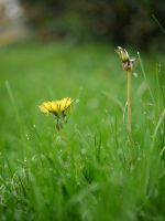 Dandelion weed flowers. by asaluiphotography