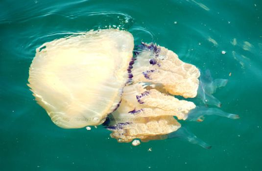 Jellyfish by Chrissy17Mouse