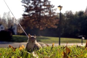 Squirrel on Leash Part Deux by woobiee