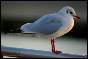 Black Headed Gull 2 by Liuanta