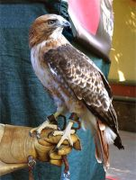 Red-Tailed Hawk Stock by TalkStock