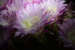 Layers of a Cactus Flower by shadyacres